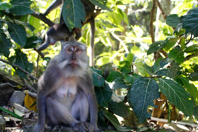 Una mona en el Monkey Forest