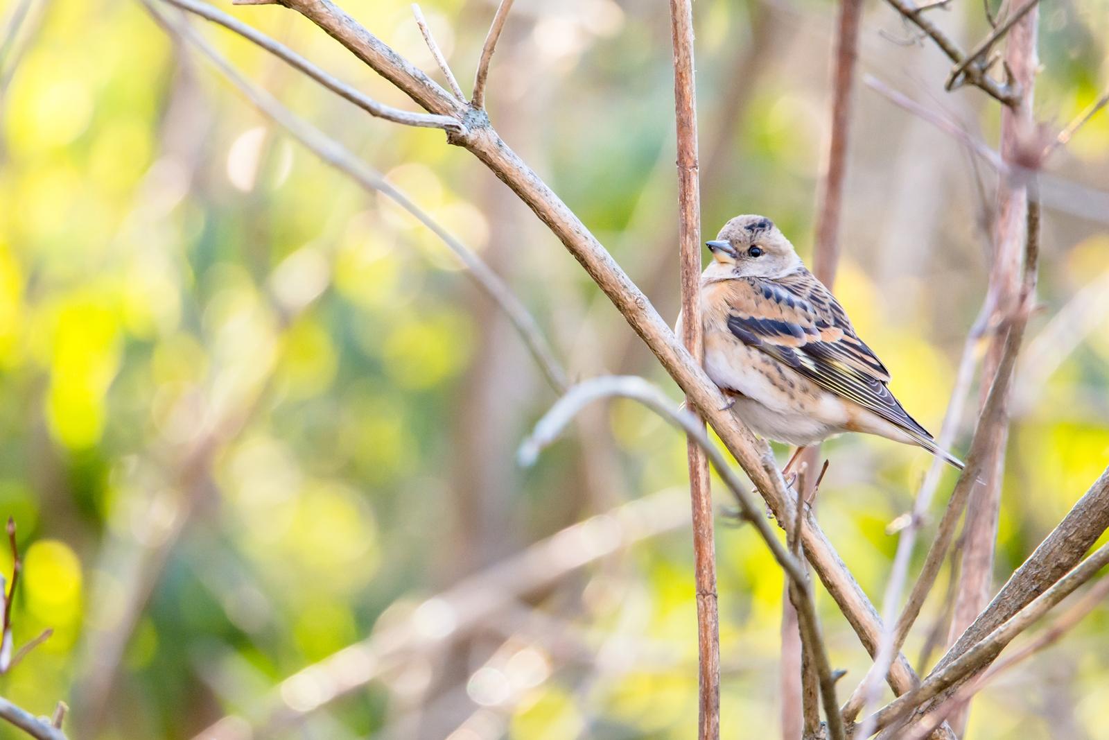 Photo: 安らかな光 Restful sunlight.  まだまだ寒いけど でも知っている もう少しでここも 芽吹き輝き騒がしくなる 安らかな光が教えてくれる  Brambling. (アトリ) #cooljapan #365cooljapanmay  #birdphotography #birds #kawaii  #sigma  Nikon D7100 SIGMA 150-600mm F5-6.3 DG OS HSM Sports [ Day263, January 30th ] (2枚追加:Added 2 photo)  小鳥の詩朗読 http://youtu.be/QptVuE3LQZQ?list=PL2YtHGm0-R3qVsaqvQe9OYdJFCkI98wzF
