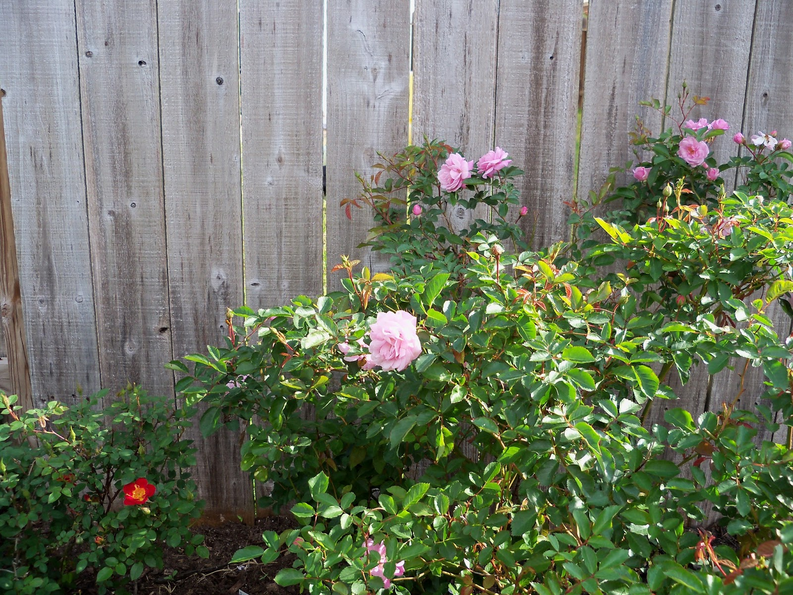 Gardening 2011 - 100_6963.JPG