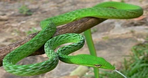 dryophis-green-whip-snake