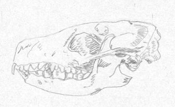 cranio-riccio