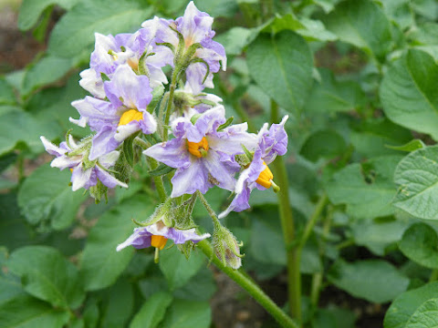 ジャガイモの花が咲く