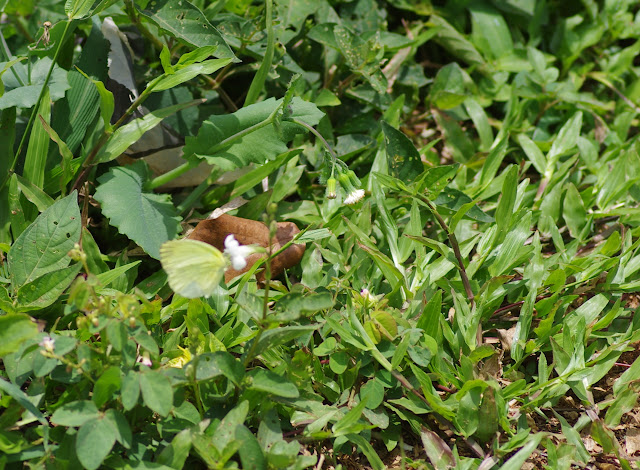 Eurema senegalensis BOISDUVAL, [1836], mâle. Colline de Mvog Beti, Yaoundé (Cameroun), 6 avril 2012. Photo : J.-M. Gayman
