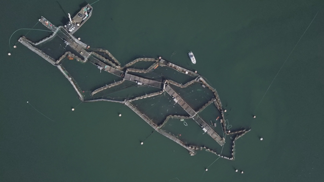 A drone image of the collapsed Cooke Aquaculture salmon farm near Cypress Island in Washington state's Puget Sound. Photo: Beau Garreau / CBC News