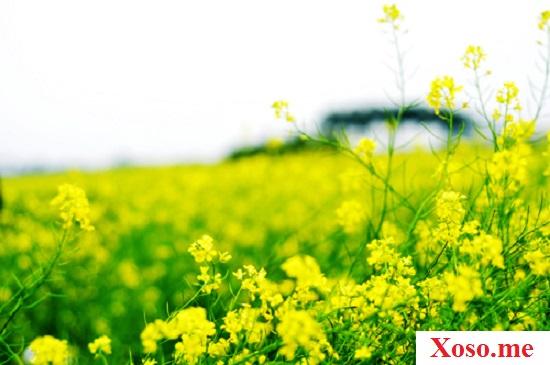 Thấy đồng hoa cải ánh vàng trong mơ