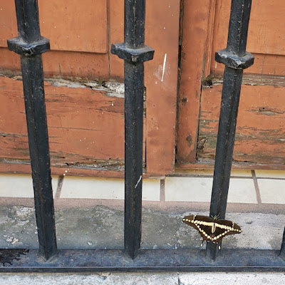 yellow and black butterfly resting on an iron fence