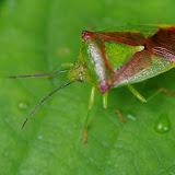 Hétéroptère : Acanthosoma haemorrhoidale (LINNAEUS, 1758). Les Hautes-Lisières (Rouvres, 28), 10 juin 2012. Photo : J.-M. Gayman