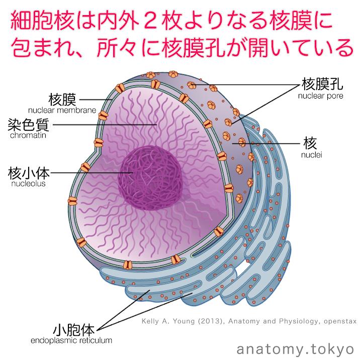 t111-31-核膜・核膜孔.png