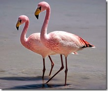 Flamingo-de-James
