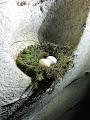 Swift nest in Fern Rock Cave | photo © Matt Kirby