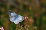 Skovblåfugl på lyng2.jpg