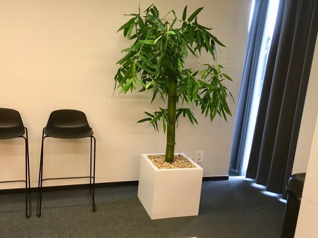 goedkope bamboe soorten planten kopen voor bedrijven of particulier prijzen op aanvraag voor buiten binnen hangend of in pot tegen muur met bloemen op terras in de tuin en tegen wand