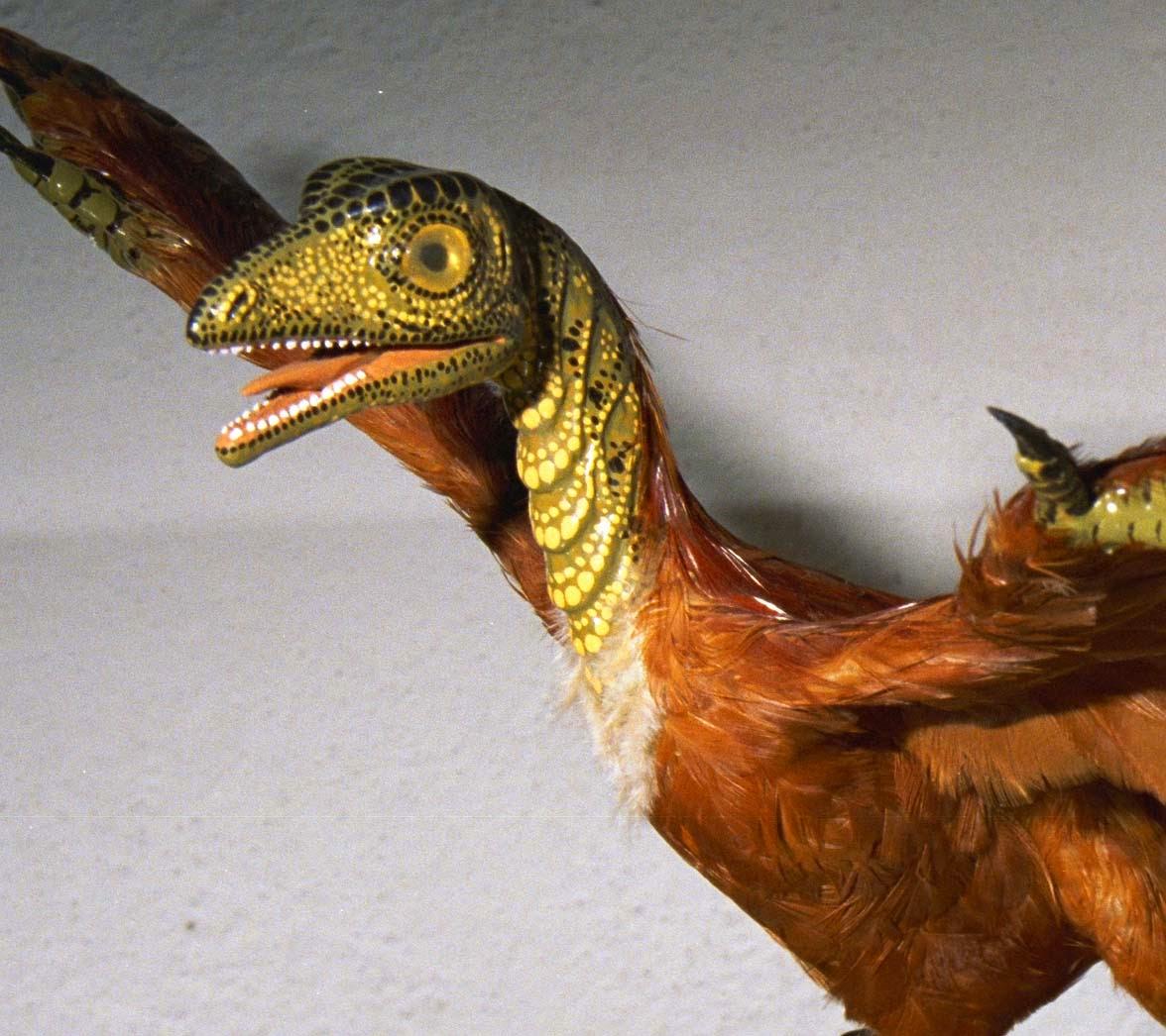 Mô hình của chim thủy tổ này có vảy trên đầu, mặc dù các nhà khoa học chưa bao giờ tìm thấy vảy trong hóa thạch của loài này. (Ảnh do Tiến sĩ Carl Werner cung cấp)