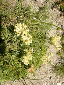Astragale Astragalus campestris Fabacees 2.JPG