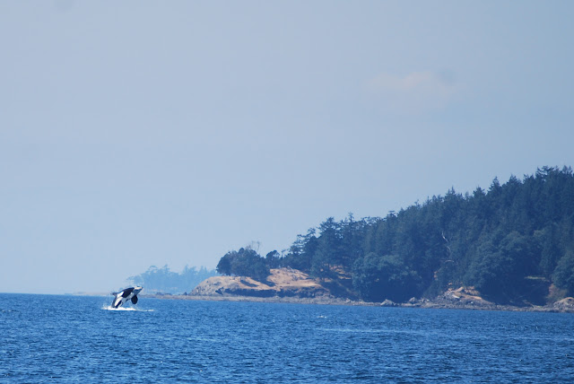 A whale breaches in the Salish Sea / Credit: Bellingham Whatcom County Tourism