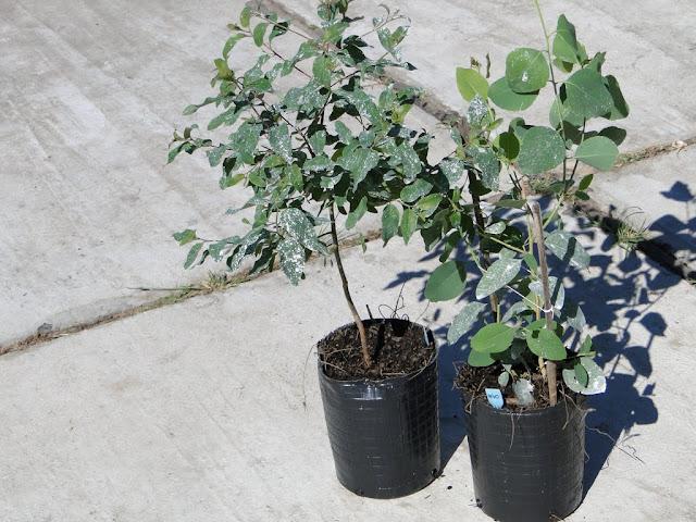 eucaliptus - 0012%2B%25283%2529.JPG