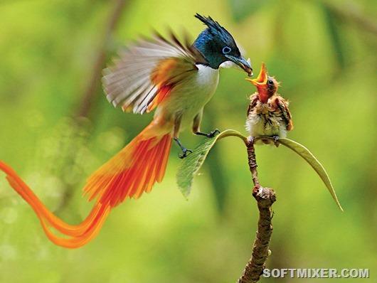 Paradisaeidae02