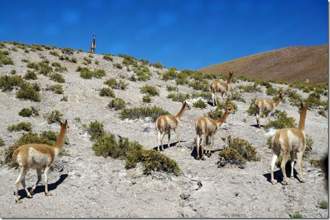 Bando de Vicunhas Silvestres - Atacama