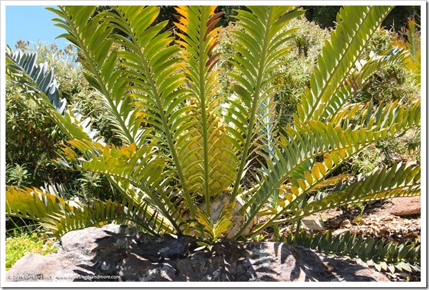 150710_UCBG_093_Encephalartos-arenarius