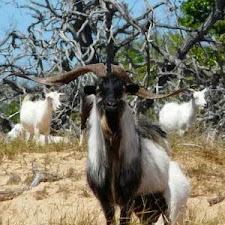 wild_goat_hunting_11L.jpg