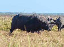Big herd bull on the Carmor plains