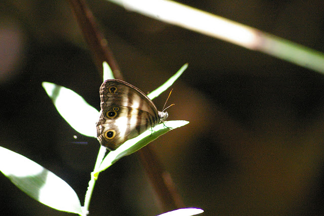 Pareuptychia lydia CRAMER, 1777. Amazone Nature Lodge, Montagne de Kaw (Guyane). 18 novembre 2011. Photo : J.-M. Gayman