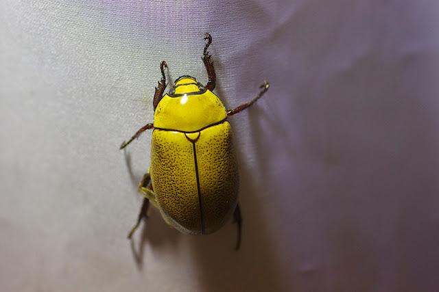 Rutelidae : Heterosternus oberthueri Ohaus, 1901. Mount Totumas, 1900 m (Chiriquí, Panamá), 22 octobre 2014. Photo : J.-M. Gayman