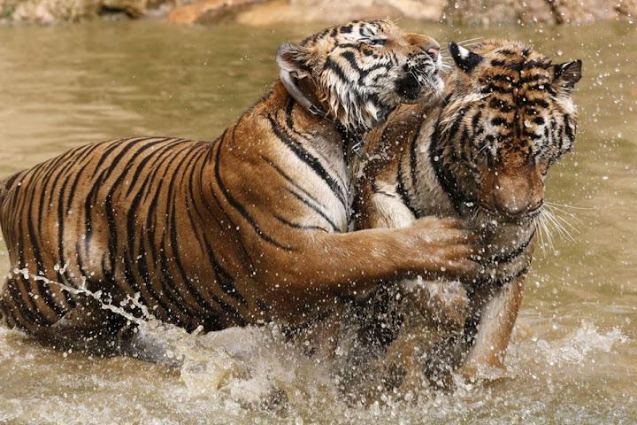 Templo dos tigres na Tailândia