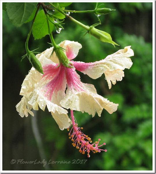 06-16-hibiscus