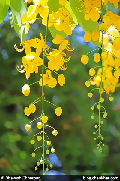 Cassia fistula AKA Garmalo, Amaltas, Bandar Lathi, Bahava, Golden Shower Tree, Sunari, Aragvadha, Chaturangula, Kritamala, Suvarnaka