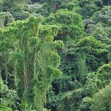La forêt au-dessus du rio Llanito, route de Santa Fe à Guabal, 300 m (Veraguas, Panamá), 29 octobre 2014. Photo : J.-M. Gayman