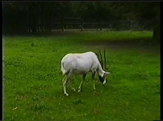 2001.08.26-017 oryx