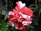 紅色 白斑入り 八重咲き 大輪