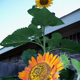 Gardening 2010, Part Three - 101_3988.JPG