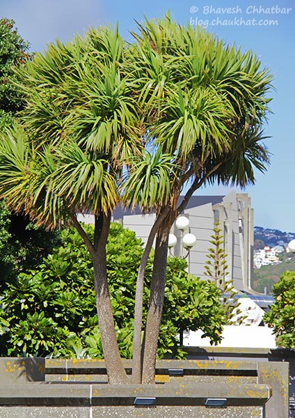 Cabbage Trees at Frank Kitts Park at Wellington [New Zealand]