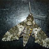 Sphingidae : Sphinginae : Manduca rustica rustica (Fabricius, 1775), mâle. Trois km à l'est de Caranavi (Yungas, Bolivie), 19 décembre 2014. Photo : Jan-Flindt Christensen