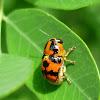 Griburius Beetle