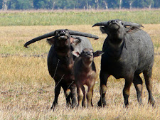 wildlife-water-buffalo-5.jpg