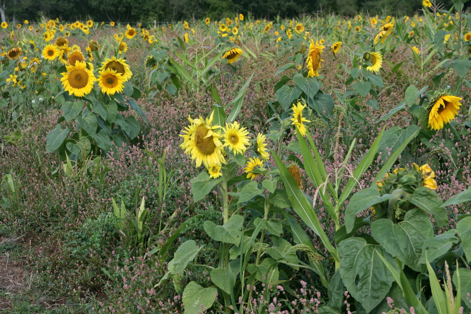 1008 070 Alton Circular, Hampshire, England Sunflowers