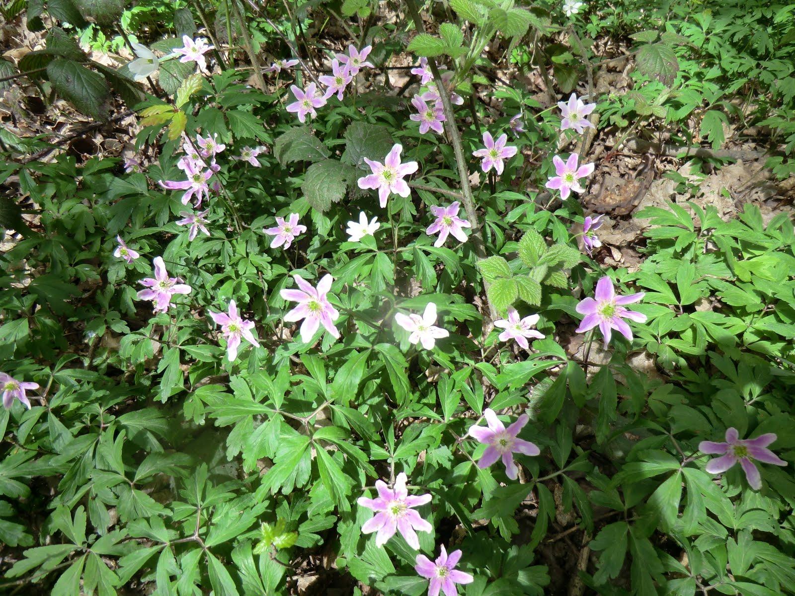 CIMG4208 Purple-tinged wood anemones, Selsdon Wood