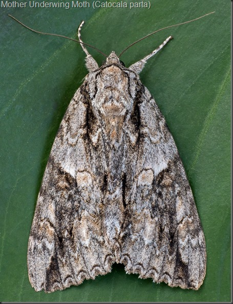 Mother Underwing Moth (2)