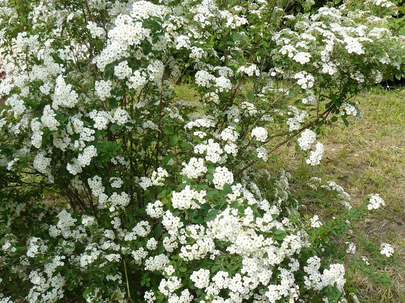 Des floraisons au jardin ... P1030265
