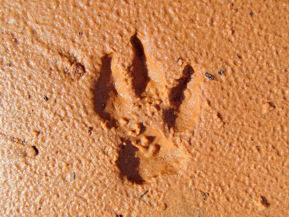 Three-toed coyote tracks