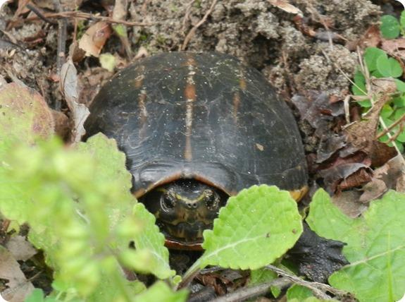 24 Van Fleet - Three-striped Mud Turtle