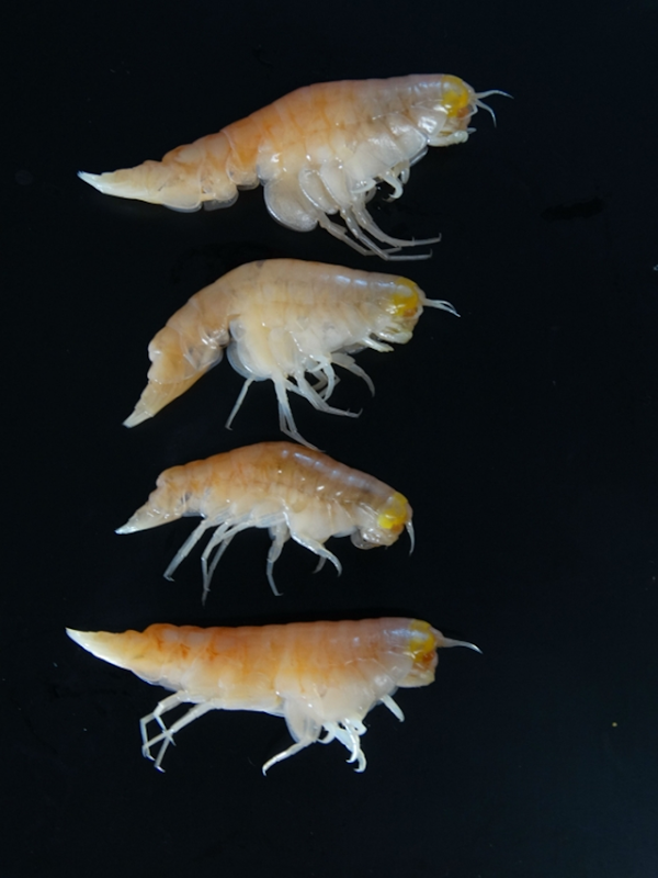 The ultra-deepwater amphipod Hirondellea gigas from the deepest depths of the Mariana Trench in the Northwest Pacific Ocean. This species is known to inhabit depths of 6000 to nearly 11,000 meters. Extremely high levels of Persistent Organic Pollutants (POPs) in the organism's fatty tissue were reported by researchers on 14 February 2017. These pollutants include polychlorinated biphenyls (PCBs) and polybrominated diphenyl ethers (PBDEs), which are commonly used as electrical insulators and flame retardants. Photo: Dr Alan Jamieson