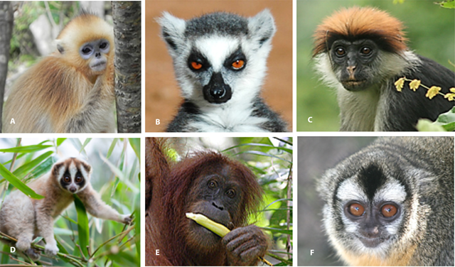 Photos of selected primates from each major world region.Conservation status and photo credits include the following: (A) Golden snub-nosed monkey (Rhinopithecus roxellana), Endangered, P. A. Garber. (B) Ring-tailed lemur (Lemur catta), Endangered, R. A. Mittermeier. (C) Udzungwa red colobus (P. gordonorum), Endangered (Photo Credit: Thomas Struhsaker, Duke University). (D) Javan slow loris (Nycticebus javanicus), Critically Endangered (Photo Credit: Andrew Walmsley, Andrew Walmsley Photography). (E) Sumatran orangutan (P. abelii), Critically Endangered (Photo Credit: Perry van Duijnhoven). (F) Azara's night monkey (Aotus azarae), Least Concern. Photo : Claudia Valeggia / Yale University / Owl Monkey Project, Formosa-Argentina
