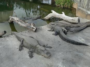 2018.08.25-059 alligators
