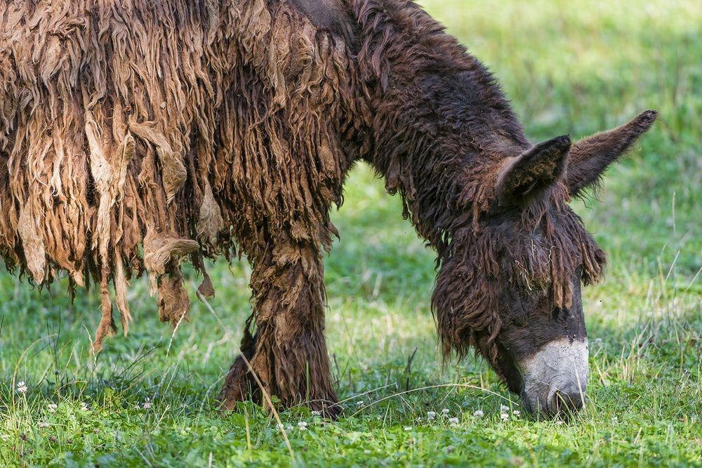 poitou-donkeys-1