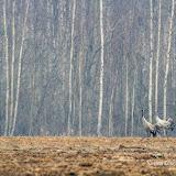 Серый журавль (Grus grus)