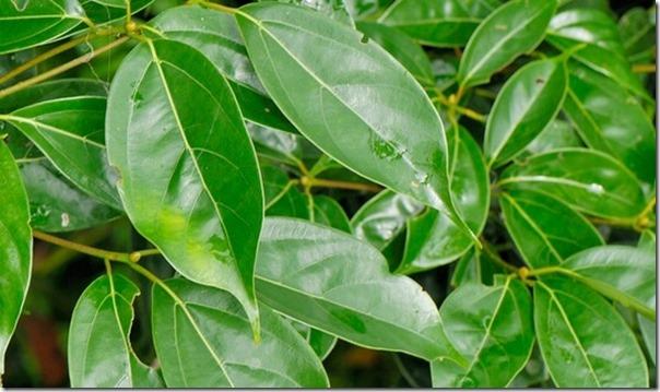 「十三五」閩台農業合作穩步開局,栽培台灣保育類牛樟樹